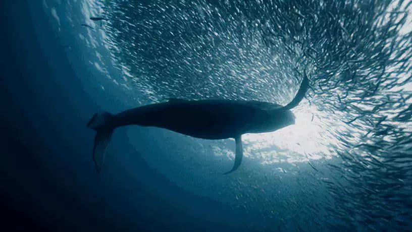 痛心!145头鲸鱼集体自杀,背后残忍真相让人心疼,无知的人类终将付出代价···